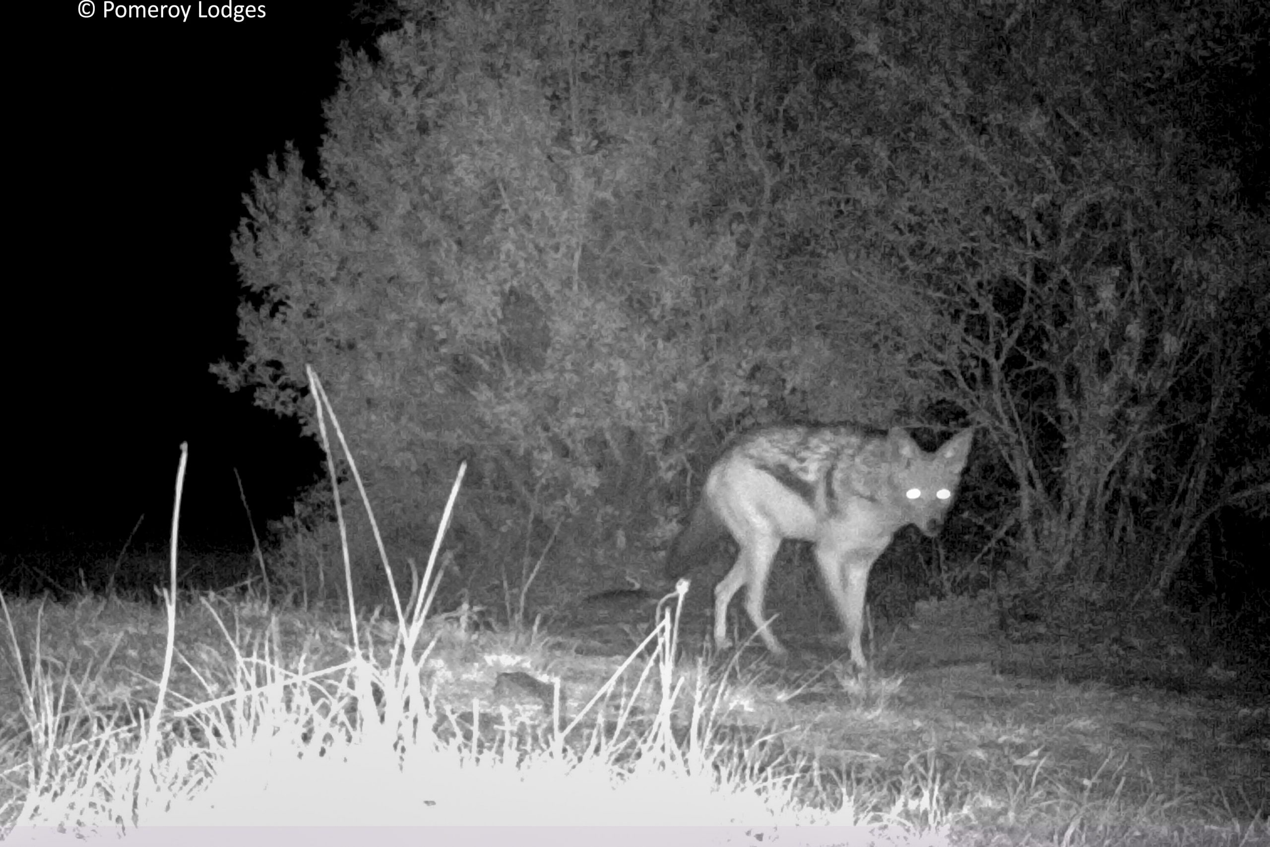 Jackal spotted at night on Pomeroy