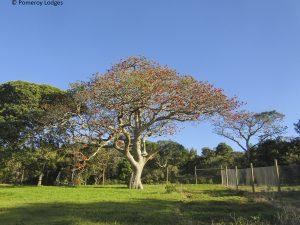 Cape Coral Tree