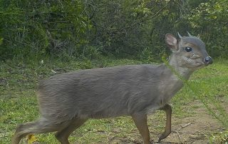 Blue Duiker - Pomeroy Reserve game gallery