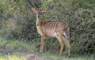 Female Nyala - Pomeroy Reserve game gallery