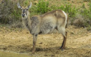 Female Waterbuck - Pomeroy Reserve game gallery