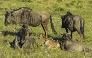 Blue Wildebeest - Pomeroy Reserve game gallery