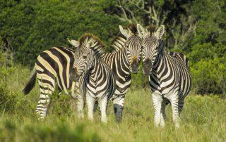 Zebra - Pomeroy Reserve game gallery
