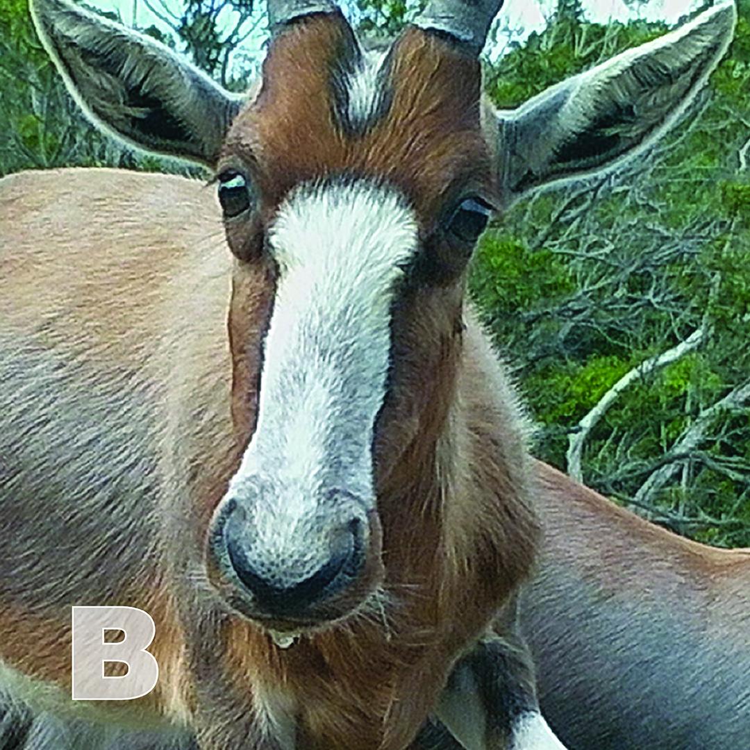 B is for Blesbok