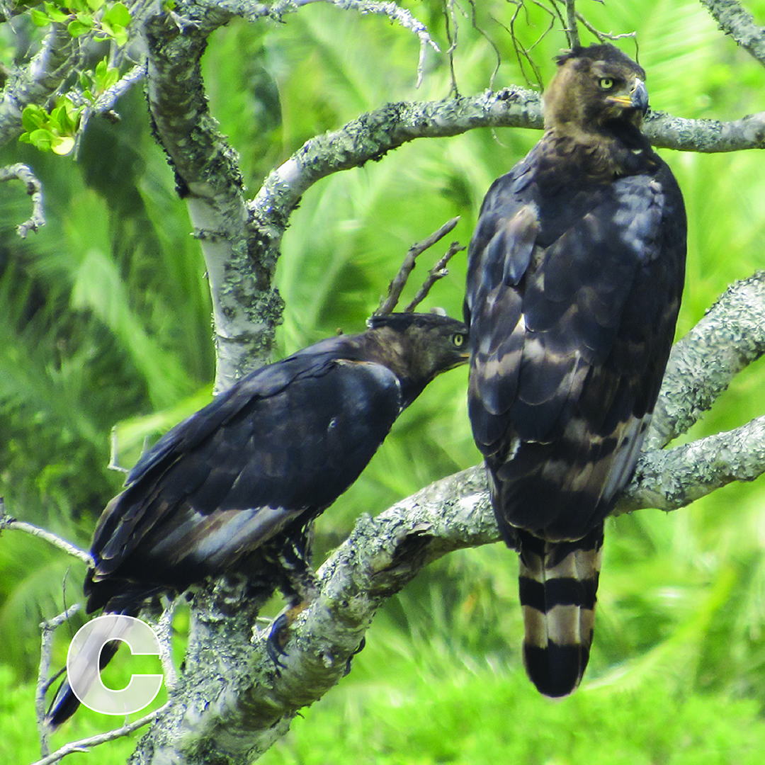 C is for Crowned Eagle