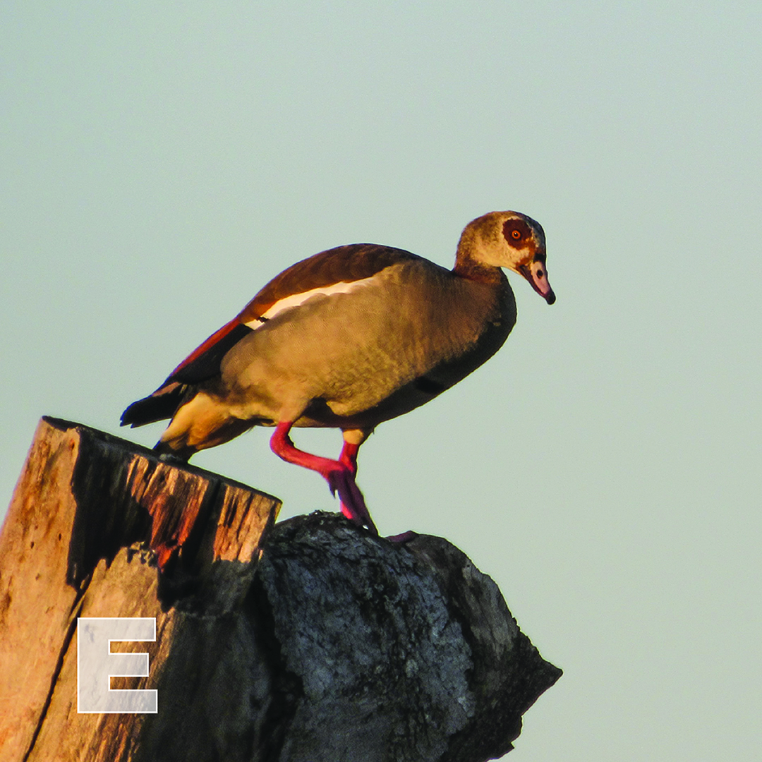 E is for Egyptian Goose