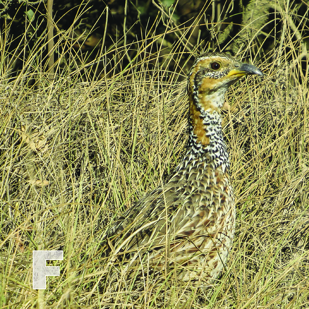 F is for Francolin