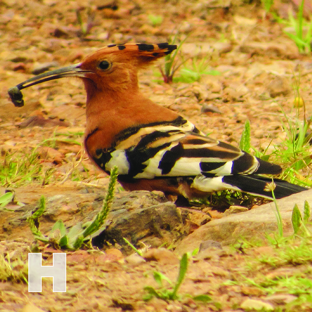 H is for Hoopoe