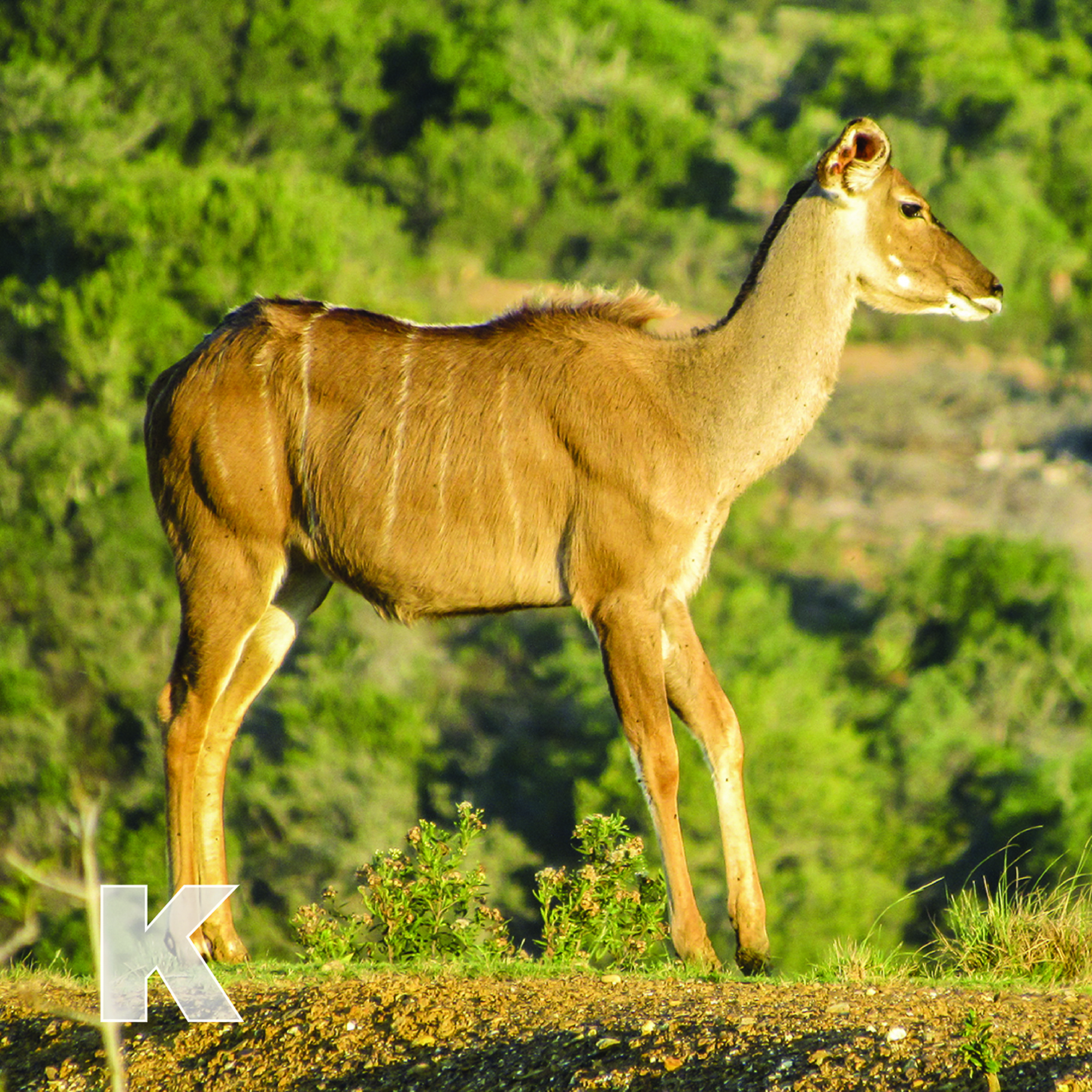K is for Kudu