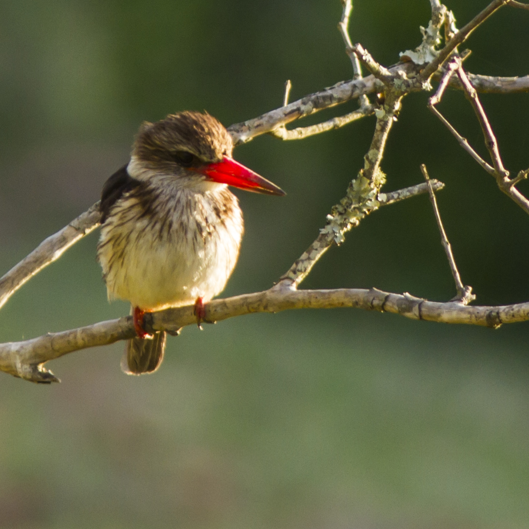 Brown Hooded Kingfisher