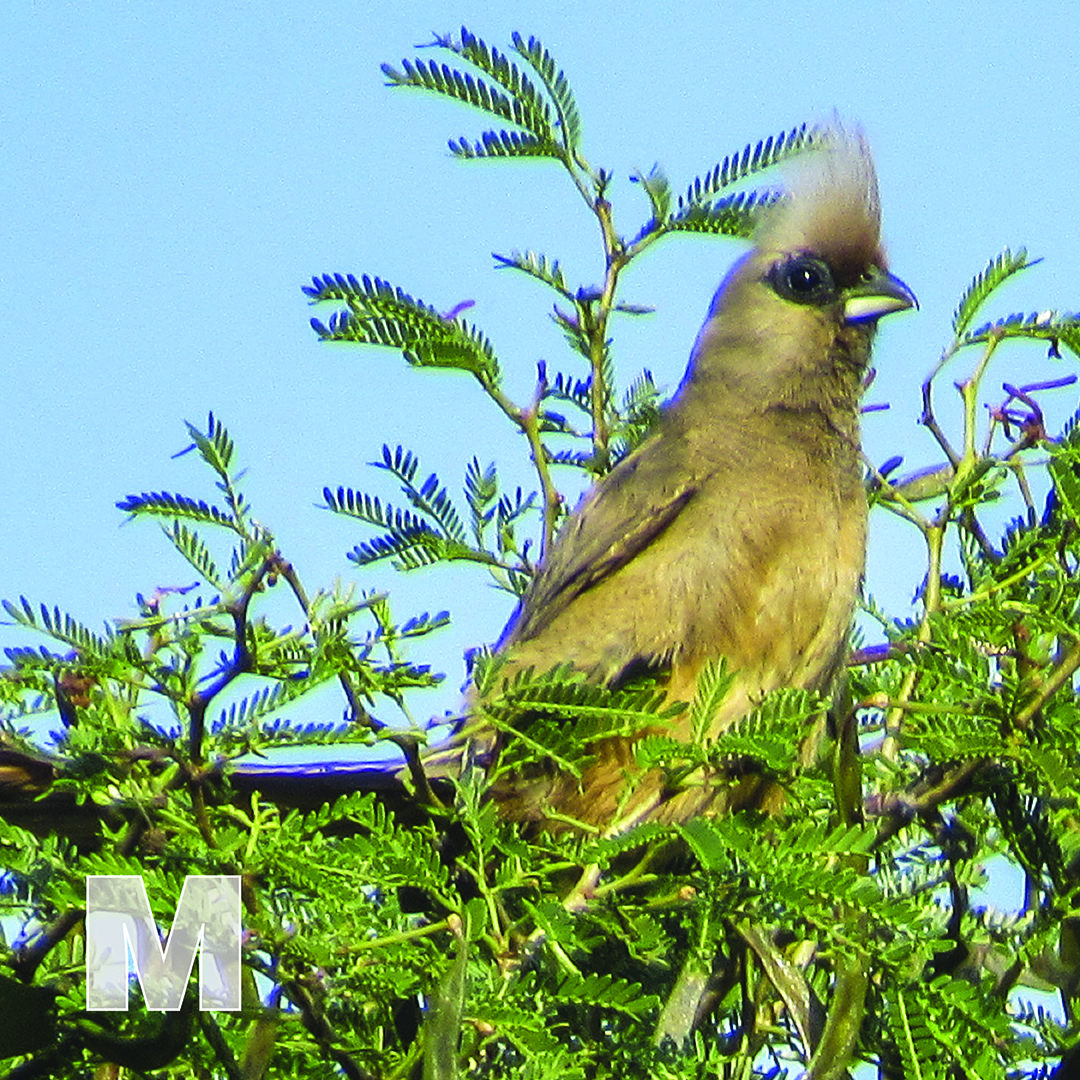 M is for Mousebird