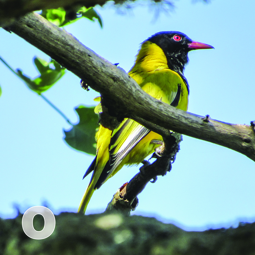 O is for Oriole