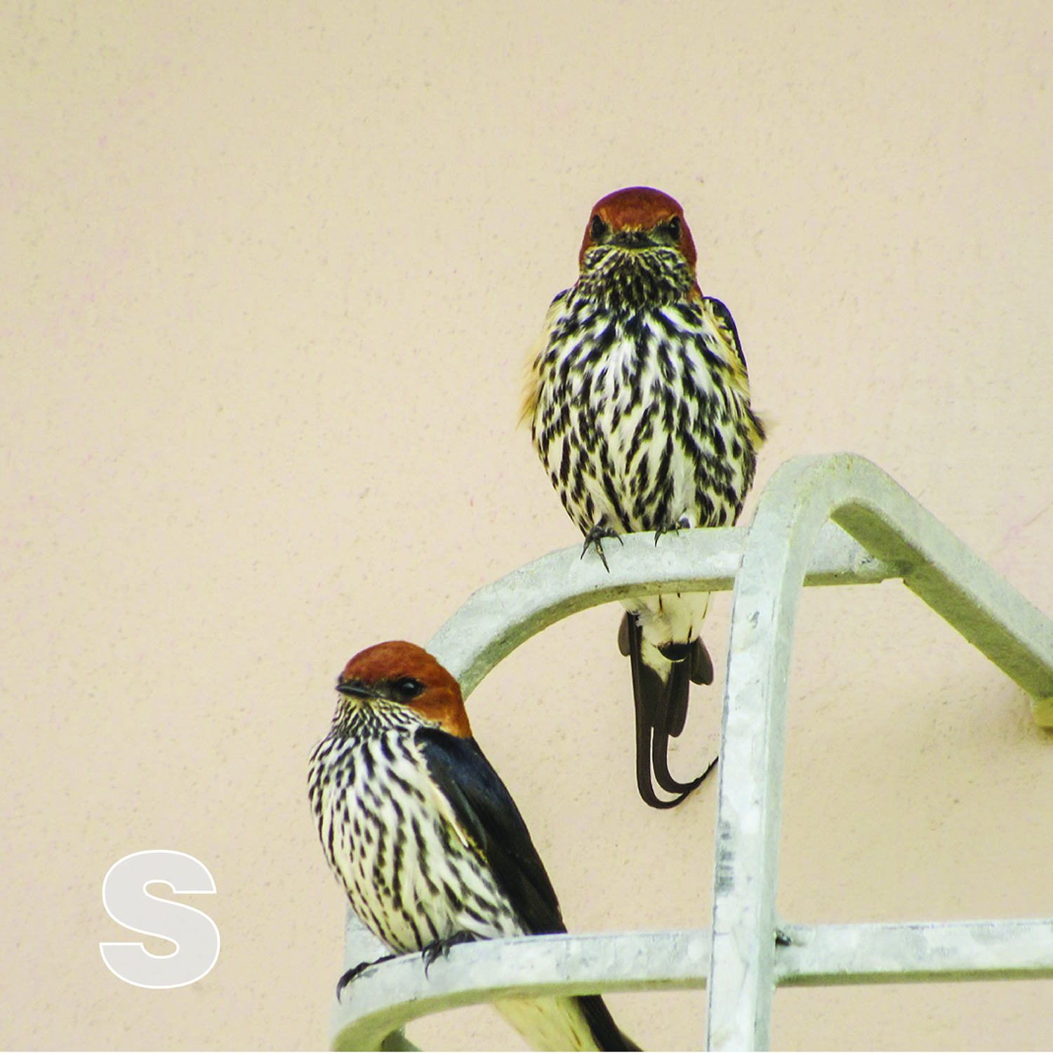 S is for Swallows