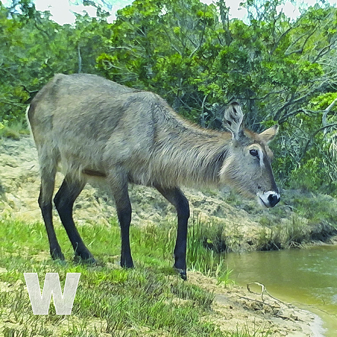 W is for Waterbuck