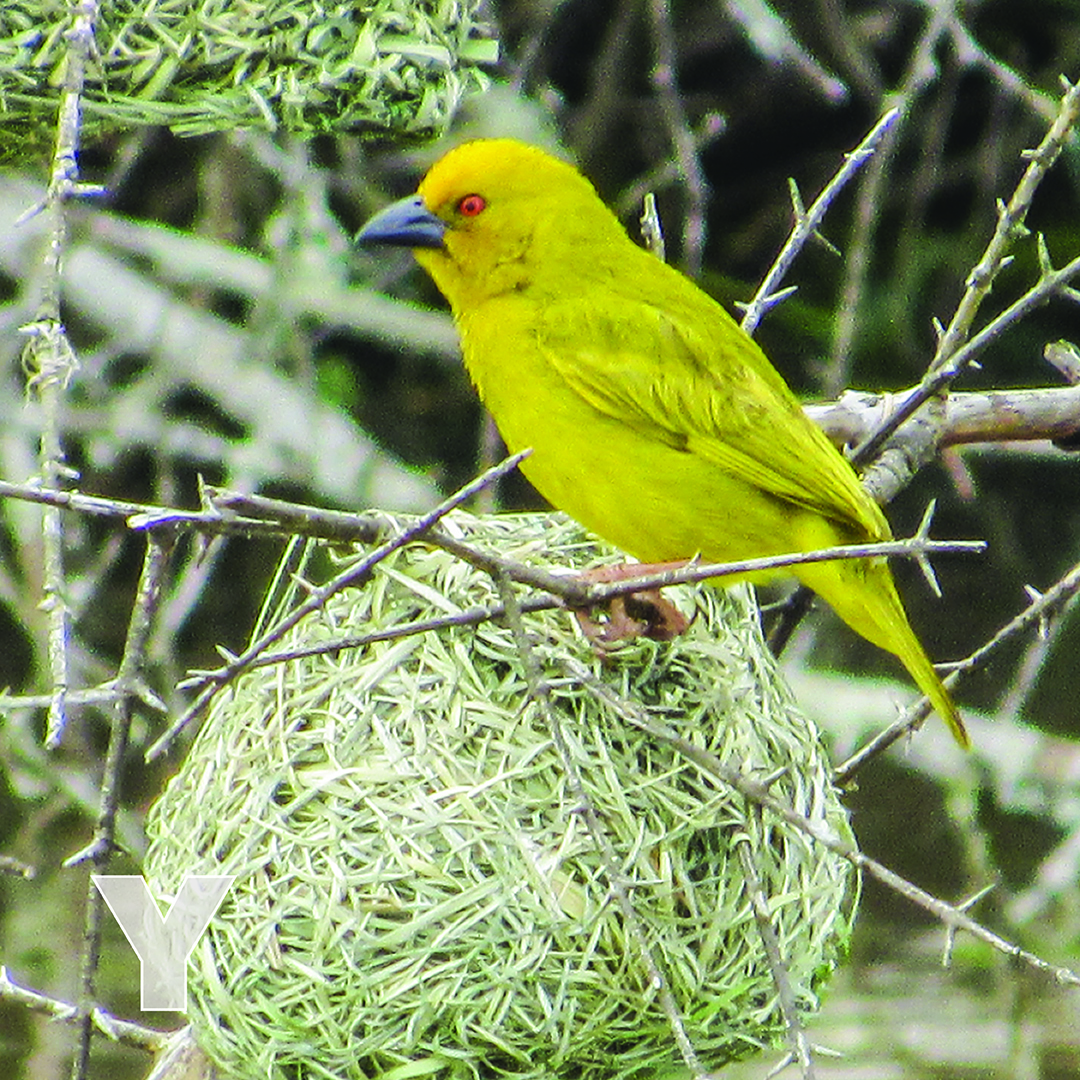 Y is for Yellow Weaver